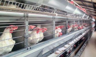 ۸۰ درصد واحدهای مرغ تخمگذار قم فعال است